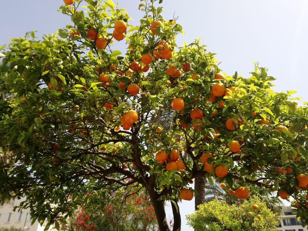 oranger-a-hyeres